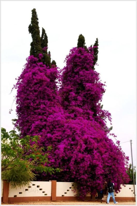 Beauty Of Bougainvillea Vines