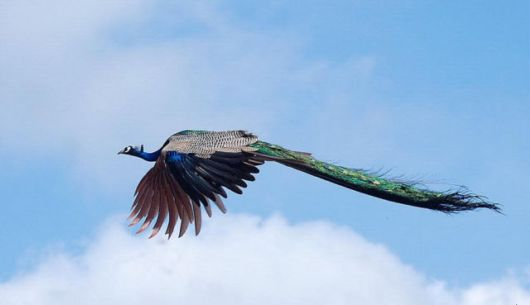 Have You Ever Seen A Peacock In Full Flight?