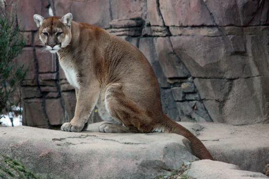 Puma - The Mountain Animal